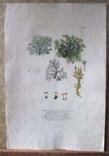 "Vintage Engraving,MUSCUS,C.1740,WEINMANN,Botanical,20x13.5"",Mezzotint"