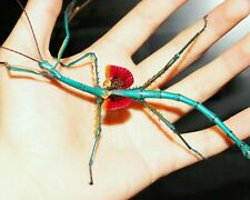 Metallic Stick Insect • (Achrioptera fallax/manga), 10 EGGS - feeder food