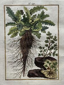 1790 Asplenium FERN Botany - Joh. Sollerer hand coloured engraving