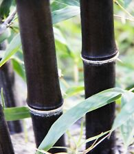 5-PACK ORNAMENTALNigra 'Black Bamboo' Bamboo Rhizome for DENSE PRIVACY SCREEN