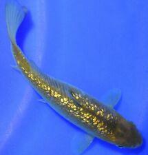 """New listing 6.5"""" Imported Gin Rin Chagoi Live Japanese Koi Pond Fish - Ravenwood Koi"""
