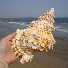 Home Furnishing Marine Sea Decoration 20-25cm Big Conch Natural Ornaments Shell