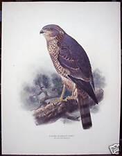 "J. G. Keulemans: ""A Sore Sparrow Hawk"" ca. 1880"