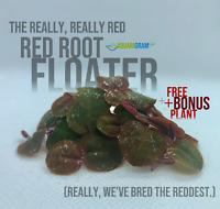 15+ Leaf Red Root Floaters (+FREE BONUS PLANT) Live Aquarium Floating Plant