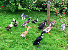 12 Fertilised Indian Runner Duck Eggs Fawn White Black Chocolate Silver Mallard