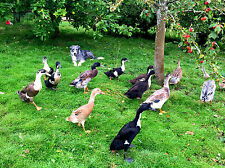 6 X Fertilised Indian Runner Duck Eggs Fawn White Black Chocolate Silver Mallard
