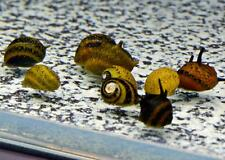 5 Tri Color Horned Nerite Snail freshwater moss java shrimp guppy live