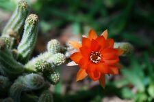 Echinopsis chamaecereus Peanut Cactus Cacti Succulent Orange flower Live Plant