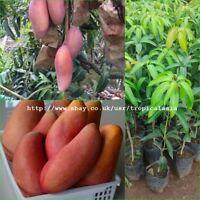 "50cm Grafted Plant Mango tree Mangifera indica ""Nga Chang Daeng"" Red Mango Rare"