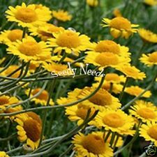 ANTHEMIS- Kelwayi  * Golden Marguerite*  25 Seeds