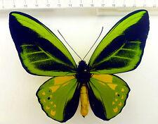 Ornithoptera goliath  F x O.p.poseidon M , Männchen Hybride, Indonesien   No 374