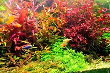 10 PINK & RED BUNCHED & WEIGHTED TROPICAL aquarium live plants fish tank