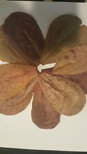 "10 Piece Indian Almond (Catappa) Leaves 4""-7"" Grade A Leaves USA Seller"