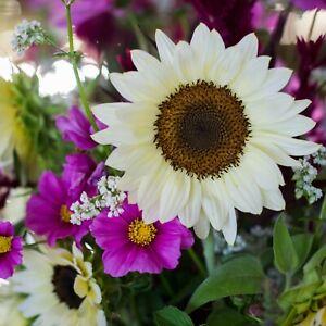 20 WHITE NITE ProCut Sunflower Seeds, Annual-NON GMO, ELEGANCE for YOUR GARDEN