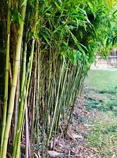 Live Bamboo Culm with Root or Rhizome Starter Plant – Create Privacy Screen