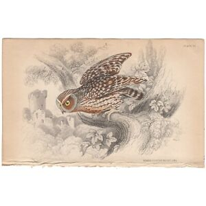 Jardine/Lizars antique hand-colored engraving bird print Pl 30 Naked-Footed Owl
