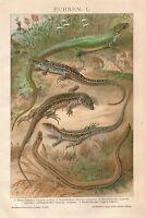 B0033 Lucertole - Stampa Antica del 1901 - Antique print - Cromolitografia
