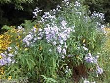 Aster pink Star  8 tiges racines, plante jardin, vivace