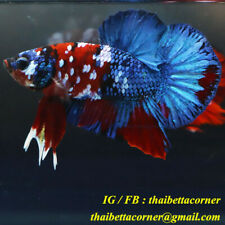 Live Betta Fish Plakad Galaxy HMPK Ship from THAILAND X size NAM110102