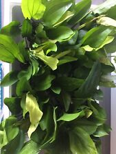 Assorted AMAZON SWORD Varieties LARGE - Rare Live Aquarium Plant