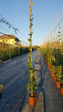 Rhyngospermum - Falso Gelsomino - Rincospermum h 50+ cm vaso 17 (25 piante)