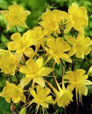 300 Sunshine Yellow Columbine Aquilegia Perennial Flower Seeds +gift