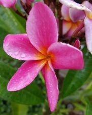 "Rooted, Pink Frangipani Aka Plumeria, one tipped Cutting, 8-11"" tall Usa Grown"