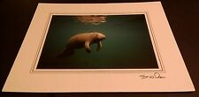 Animal Photo Print - 8x10 - Manatee Floating - New Matted - Hq Gift