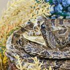 K64 Taxidermy Oddities Curiosities Small Rattlesnake Snake Glass Dome Display