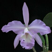 New listing Rare Cattleya Orchids - Bc Queen Silvia 'Chadwick' Original Division