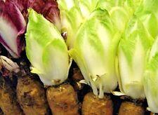 Seeds organic Witloof chicory dietary from Ukraine