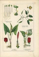 Stampa antica LEMNA POTAGEMON ARUM CALLA Gicaro botanica 1897 old antique print