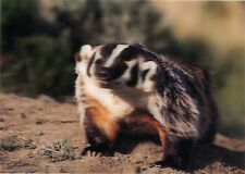 Badger - 3D Lenticular Postcard Greeting Card