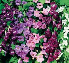 TWINING SNAPDRAGON MIX (Asarina Scandens) 30 seeds (#939)