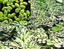 Lemna minor - Schnellstwüchsige Schwimmpflanze der Welt ! Deko & Algenmittel *