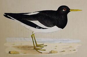 c1875 ANTIQUE PRINT ~OYSTER CATCHER HAND COLOURED British Birds Morris