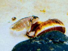 5 Lamprologus Meleagris/Pearly Occelatus aquarium breed shell-dwelling cichlids