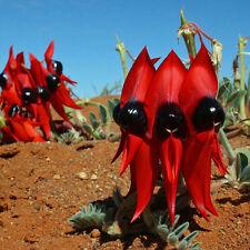 SWAINSONA formosa Sturts Desert Pea Seeds (N 80)