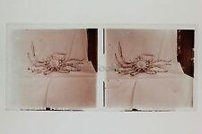 Musée Histoire naturelle Araignée de mer Paris Plaque stéréo Vintage Positif