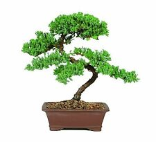 7 Years Old Green Mound Juniper Bonsai Live Tree 16 Inches Tall Japanese Outdoor