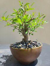 Pomegrannata Bonsai Tree, Sale