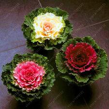 Cabbage Seeds Plant Flowering Kale In Bonsai Or Pot Garden Decoration 100Pcs/Bag