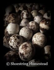 Six+ (6+) Fertile Coturnix Quail Hatching Eggs Assorted Colors - FREE Shipping!