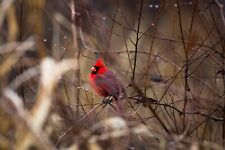 Wildlife Photography Print - Picture of Red Cardinal Surrounded by Raindrops