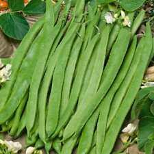 Runner Bean White Emergo 20 seeds Vegetable