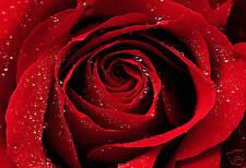 """Stampa Artistica Tela Floreale Rosso Goccia di pioggia Rosa Large 30""""x20"""""""