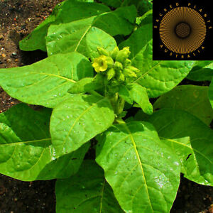 MAPACHO SACRED AZTEC TOBACCO 25 Seeds   Nicotiana Rustica   Sacred Shaman Rare