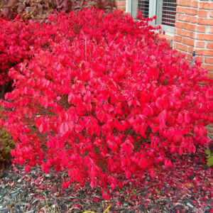 Burning Bush,  Spindle Tree-Euonymus alatus Compactus Plant in 9 cm Pot