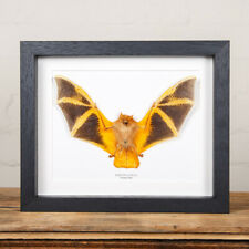 More details for painted bat in box frame (kerivoula picta)