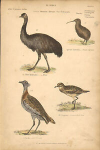 Birds, Emeu, Kiwi, Great Bustard, Vintage Home Decor 1860 Original Antique Print